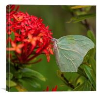 Pale green butterfly, Canvas Print