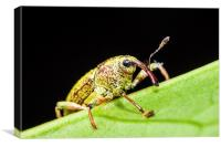 long nosed weevil on a leaf, Canvas Print