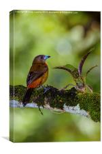 female cherries tanager, Canvas Print