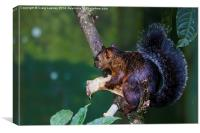 Red squirrel eating, Canvas Print