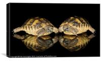 Two baby tortoises, Canvas Print
