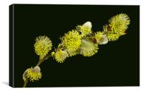 Pussy Willow Catkins, Canvas Print
