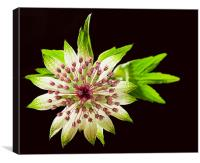 Astrantia, Canvas Print