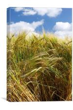 Tall Wheat Barley Crop Plants with Blue Sky, Canvas Print