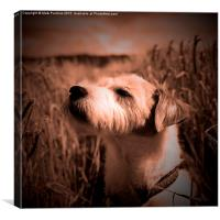 Parson Russell Terrier in Barley Field - Warm Tone, Canvas Print