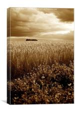 Harvest Time Barley / Wheat Field, Stormy Skies & , Canvas Print