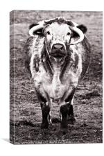 Long horn cow, Canvas Print