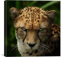 Cheetah ~ Acinonyx Jubatus, Canvas Print