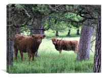 Scottish Hairy Highland Cooooos, Canvas Print