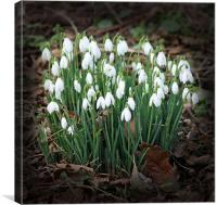First Snowdrops (Galanthus), Canvas Print
