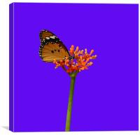 African Monarch Butterfly, Canvas Print