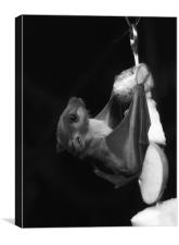 Egyptian Fruit Bat (Monochrome), Canvas Print