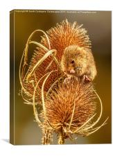 Harvest Mouse Washing Her Whiskers!, Canvas Print