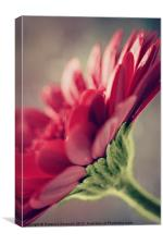 Gerbera's By Nature., Canvas Print