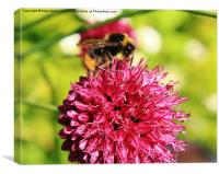 Bumble bee on chive, Canvas Print
