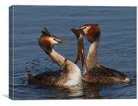 Great Crested Grebes., Canvas Print