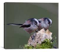 Longtailed Tits., Canvas Print