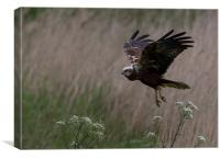 Marsh Harrier, Canvas Print