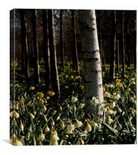 Silver Birch and Daffodils, O2, London, Docklands, Canvas Print