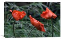 Poppies with Real Raindrops!, Canvas Print
