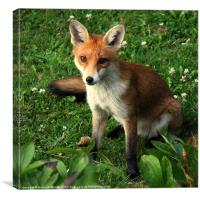 Fox Cub, Canvas Print