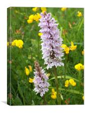 Common spotted orchid, Canvas Print