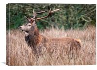 Stag in long grass, Canvas Print