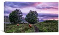 Highland coo's , Canvas Print