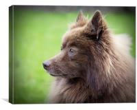 German Spitz, Canvas Print