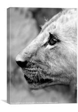 Proud Profile of a Lion Cub, Antelope Park, Zimbab, Canvas Print