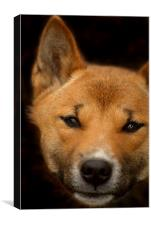 New Guinea Singing Dog, Canvas Print