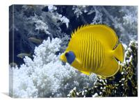 Butterfly Fish Over Fire Coral, Canvas Print