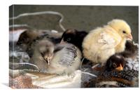 Five Young Chicks, Canvas Print