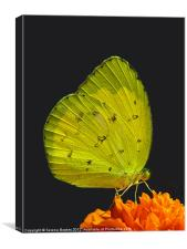 Common Grass Yellow Butterfly on Orange Flower, Canvas Print