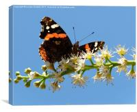 Red Admiral 3, Canvas Print