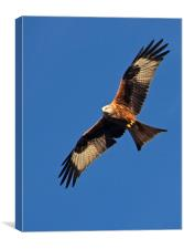 Red Kite over Berkshire, Canvas Print