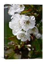 Cherry Blossoms with Honey Bee, Canvas Print