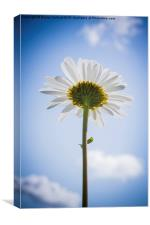 Ox-Eye Daisy, Canvas Print
