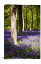 Marlborough Beech forest with bluebells, Canvas Print