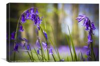 Micheldever Bluebells, Canvas Print