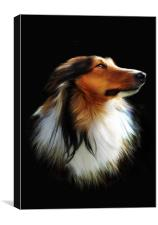 Sheltie (Berger des Shetland) Collie, Canvas Print