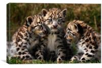 Snow Leopard Cubs - Closeup, Canvas Print