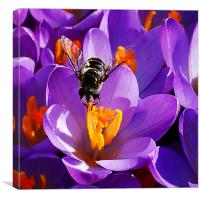 First Bee of Spring, Canvas Print