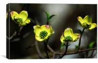 Dogwood Blossoms, Canvas Print
