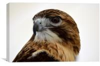 Portrait of a Red Tailed Hawk, Canvas Print