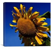 Golden Sunflower, Canvas Print