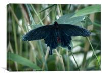 Black Rose Butterfly, Canvas Print