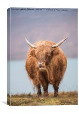 Highland Catle, Canvas Print