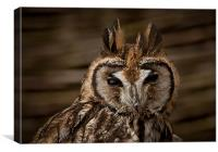 Long Eared Owl, Canvas Print