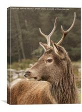 Young Buck, Canvas Print